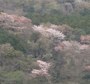 mountainsakura