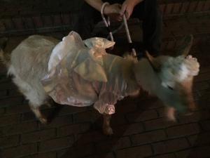 Mero the goat