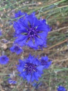 St. Michael cornflowers