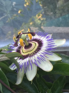 St. Michael's Passion flower